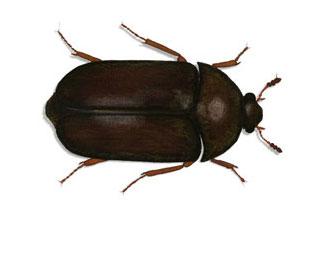 Black Carpet Beetle (Attagenus Unicolor)