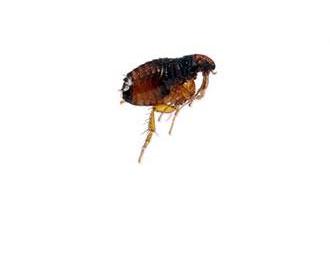 Dog Fleas (Ctenocephalides Canis)
