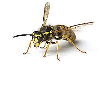 European Wasp (Vespula Germanica)