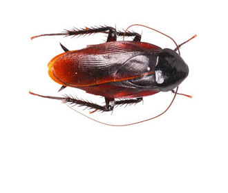 Smoky Brown Cockroaches