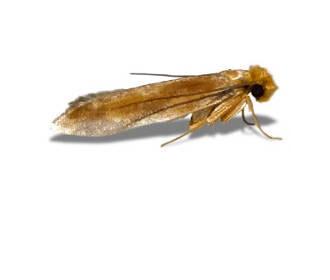 Tapestry Moth (Trichophaga Tapetzella)