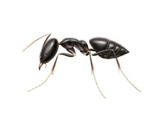 White Footed House Ant