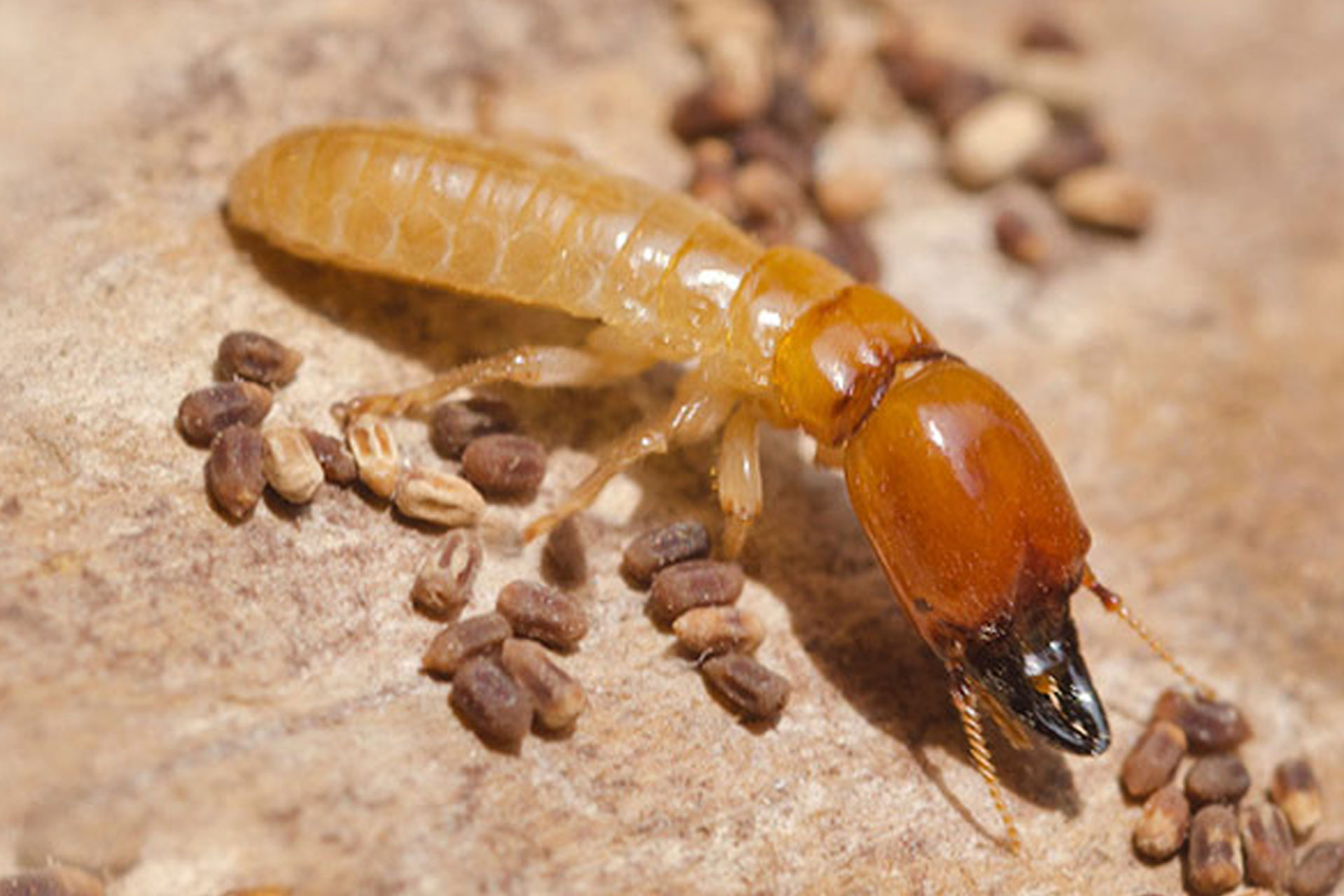 Termites Act Pest Control Canberra Expert Rodent Pest Control